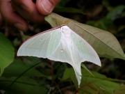 オオミズアオの成虫(2008年6月田原市滝頭公園で撮影) 学名のアルテミスは月の女神、和名は「水青」で美しい大型の蛾です。