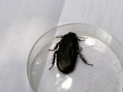 オオゴキブリ、自然豊かな照葉樹林に生息します