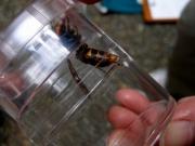冨安会員が捕獲したコガタスズメバチ
