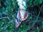 サケバヒヨドリの花で吸蜜するアサギマダラ