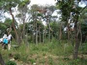 アカマツ林再生風景
