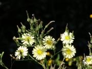 アキノゲシの花