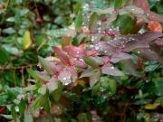 雨だれが美しいキンシバイ