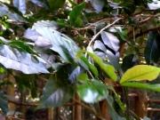 バクチノキの葉