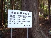 コナラの母樹