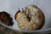 コクワガタの幼虫 少し硬めの朽木にいます。
