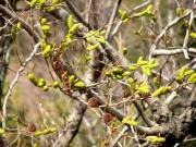 オオバヤシャブシの芽吹き