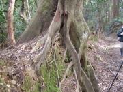 ツブラジイの板根
