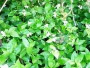 ノハカタカラクサが繁茂 外来種