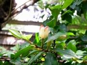 オガタマノキの花(5月10日撮影)
