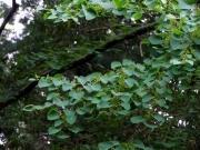 カツラの雌木の実のようす