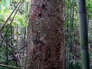 竹林の中のケヤキの大木