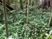 竹林を覆うノハカタカラクサ