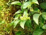 河畔林のマント群落のアオツヅラフジの花