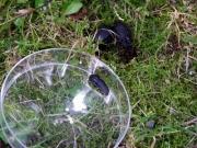 オオヒラタシデムシの幼虫(左)と成虫