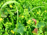 草地のコケオトギリ