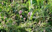 コマツナギの変体 花茎が長い