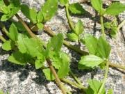 ネコノシタの葉