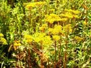山野草園のオミナエシ