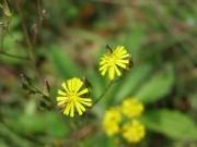 ヤブカタビラの花