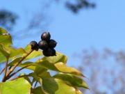 カクレミノ(植)の果実