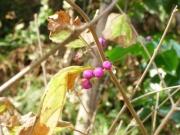 ヤブムラサキ(植?)の果実