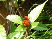 センリョウの果実