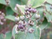 ウツギ(植)の果実