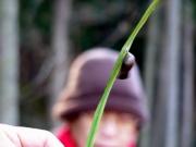 越冬するクロコノマチョウの蛹