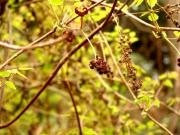ミツバアケビの雄花と雌花