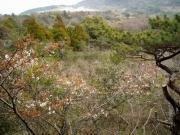 ヤマザクラ咲く湿原のようす
