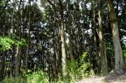 ツブラジイの林