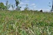 芝生と雑草のようす