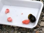 スクミリンゴガイの卵