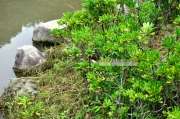 修景池のほとりの放棄されたカルガモの卵