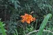 河の土手に咲くヤブカンゾウ