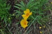なぜか刈り残された特定外来植物オオキンケイギク