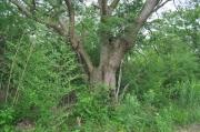 タケ類に囲まれたクスノキの巨木