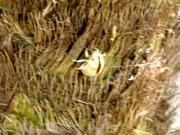 ニイニイゼミの抜け殻