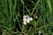 田んぼのオモダカの花