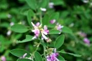 マルバハギの花