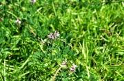メドハギの花