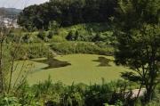 アサザに覆われた調整池
