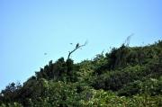 古山の枯れ木に止まるトビ