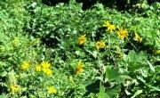 河畔林のキクイモの花