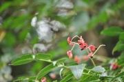 ゴンズイの花