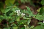 ヒヨドリバナの花