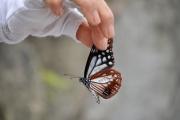 宝達山で放蝶されたアサギマダラ