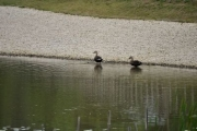 修景池のカルガモ