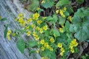 ヤクシソウの花